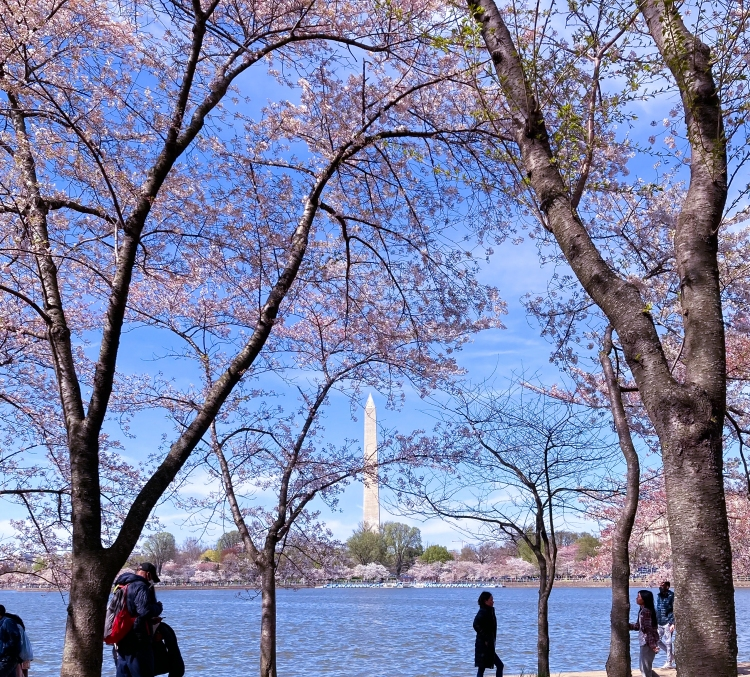 Cherry Blossoms at Washington Monument