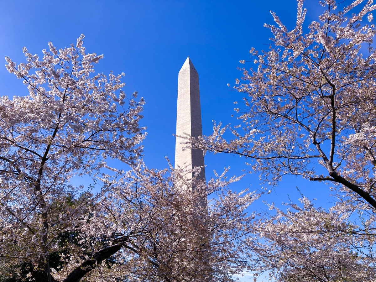 """Cherry Blossoms at the Washington Monument"""